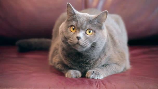 Nagy narancssárga szemmel macska ugrik ki a kanapén. Vicces látszó brit macska.