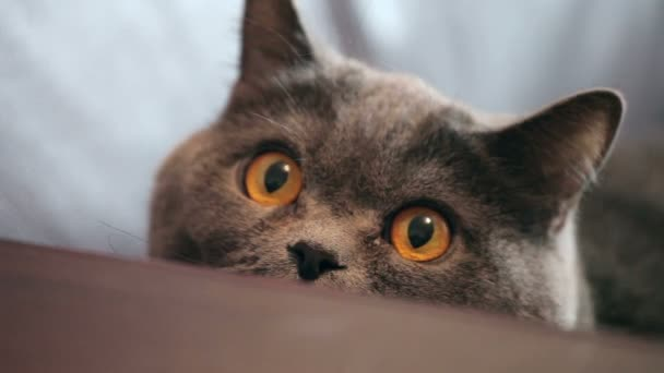 Cat With Big Orange Eyes Hunts. British Cat Looking Funny.
