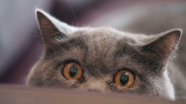 Nagy narancssárga szemmel macska vadászik. Vicces látszó brit macska.