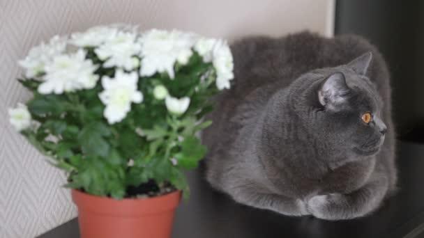 Kočka s velké oranžové oči sedí na tmavý povrch dřeva poblíž pokojová rostlina. Britská kočka.