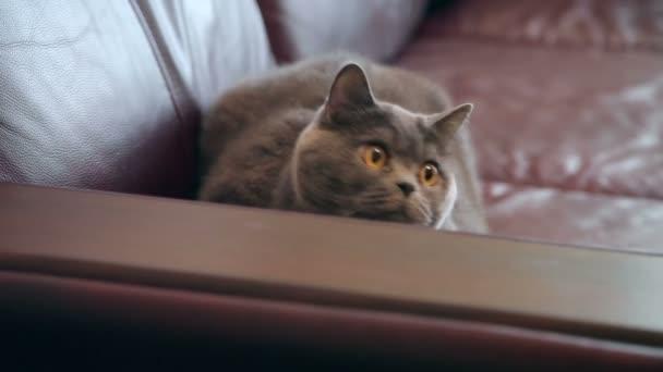 Kočka s lovy velké oranžové oči. Britská kočka hledá legrační.