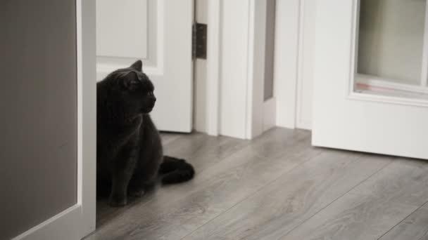 Katze mit großen Orange Augen sitzen auf den Flor und rechts. Britische Katze.