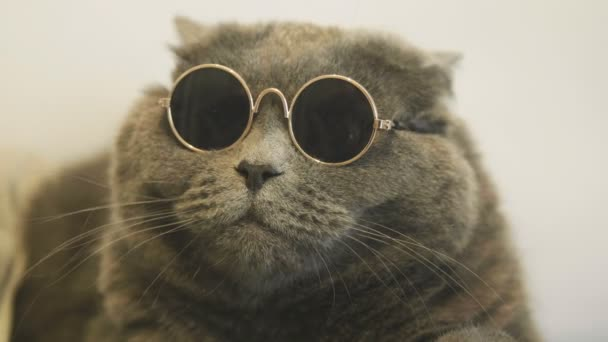 Macska szemüveg fehér háttér. Macska a napszemüveg. Közeli kép a macska szembenéz-ban napszemüveg. Brit macska.
