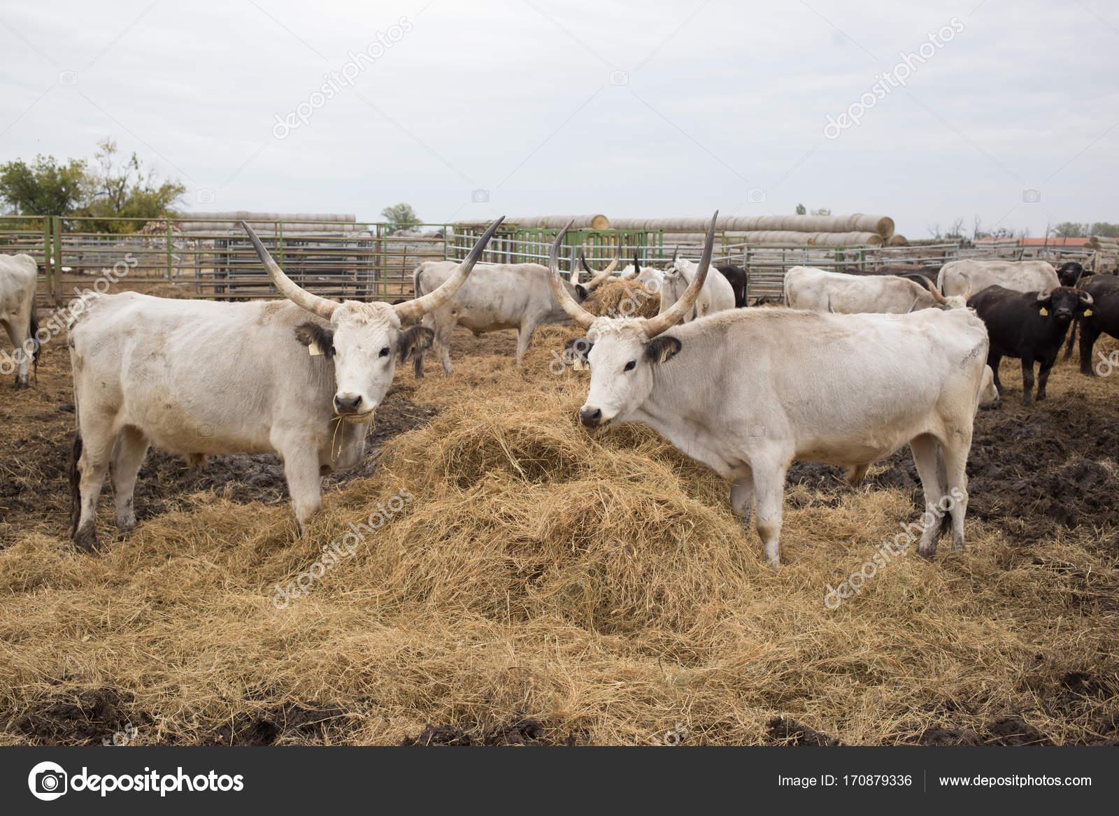 Посмотреть про буйволов, порно чулки нейлон