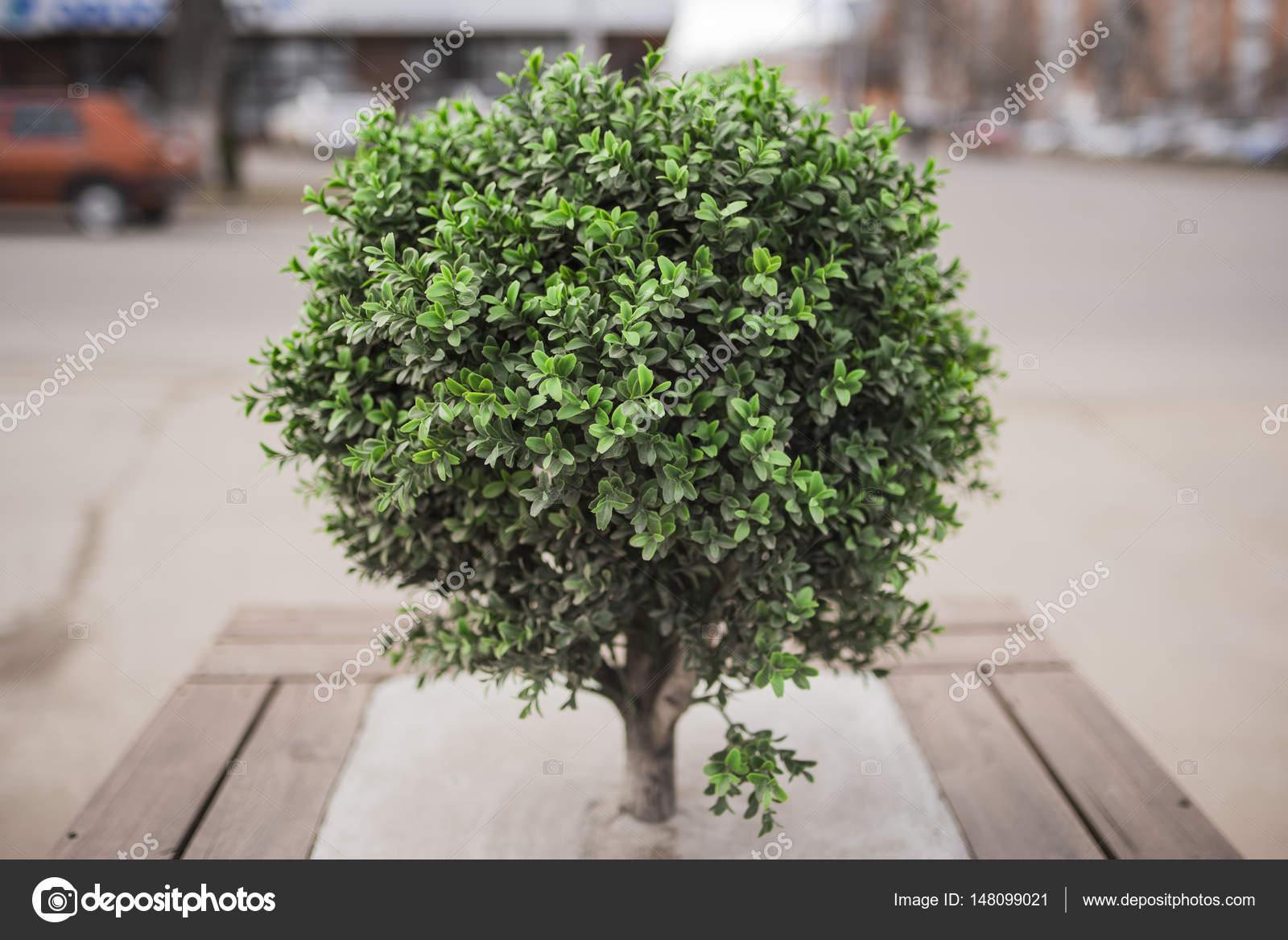 Bush de rbol peque o fotos de stock jalisko 148099021 for Arbolitos para jardines pequenos