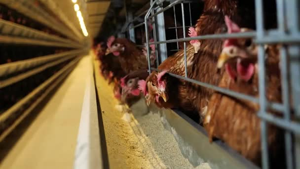 Chicken farm for egg production. Birds on the farm. Equipment for keeping chicken layers. Automated feeding of chickens.