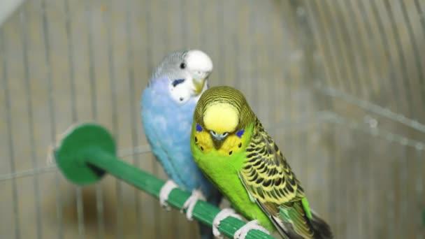 Dva pestrobarevní papoušci. Modrý a zelený papoušek sedí spolu. Papoušci chlapec a dívka žijí spolu.