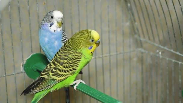 Két sokszínű papagáj. A kék és a zöld papagáj együtt ül. A papagáj a lányok kezén ül..