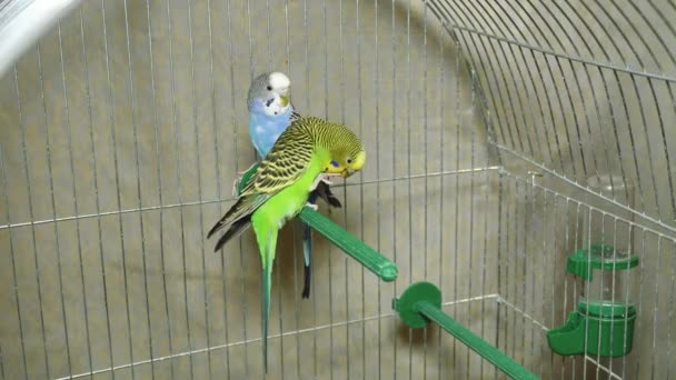 Two multi-colored parrots. Blue and green parrot sit together. Parrots boy and girl live together. The budgie cleans the legs.