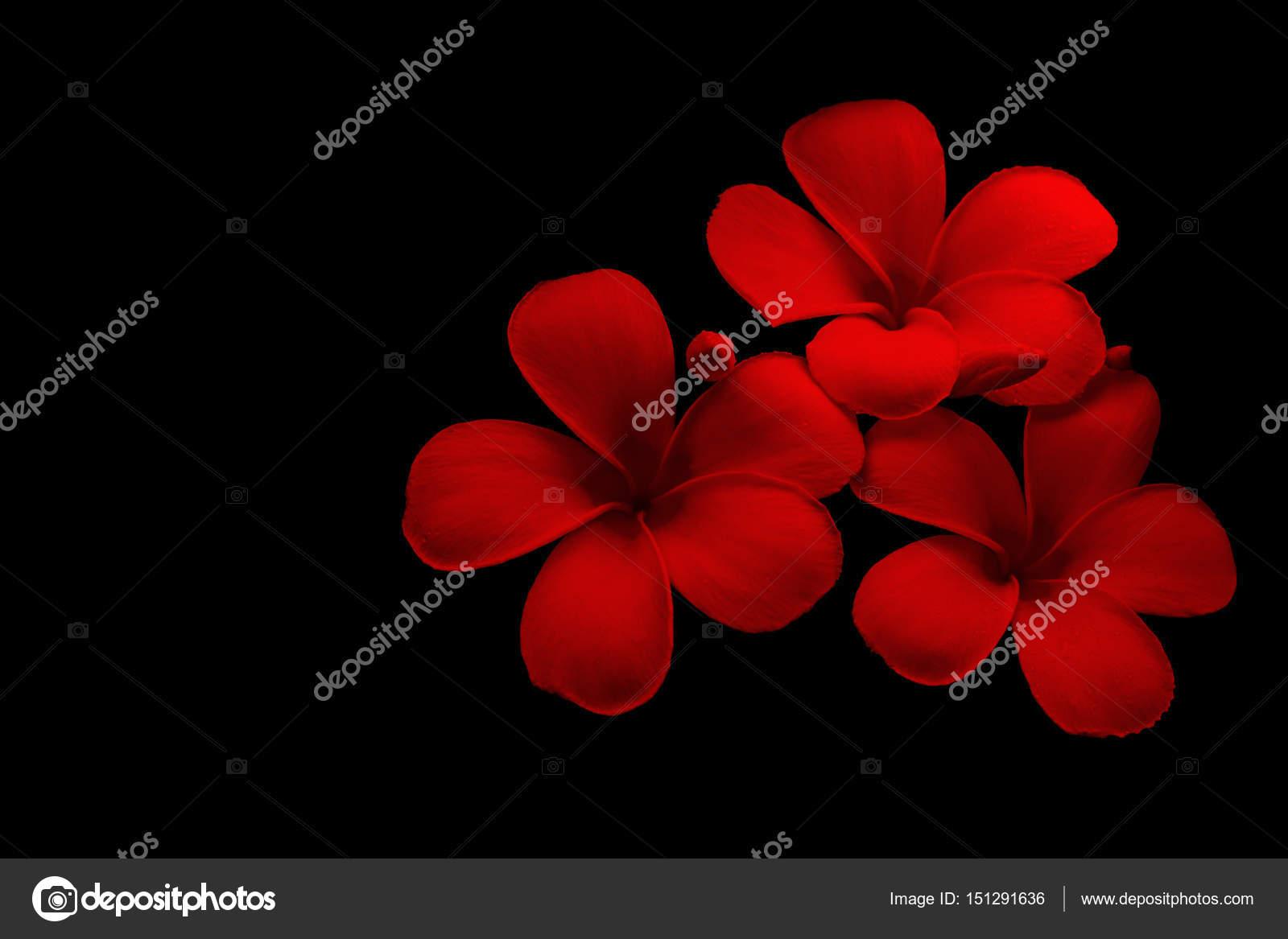 Red Plumeria flowers in black background — Stock Photo © manop1984 ...