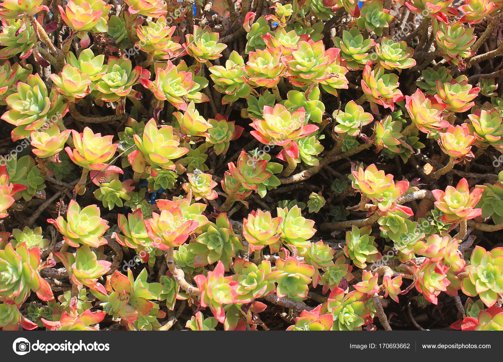 Flowers Of A Succulent Plant Stock Photo Piknik67 170693662