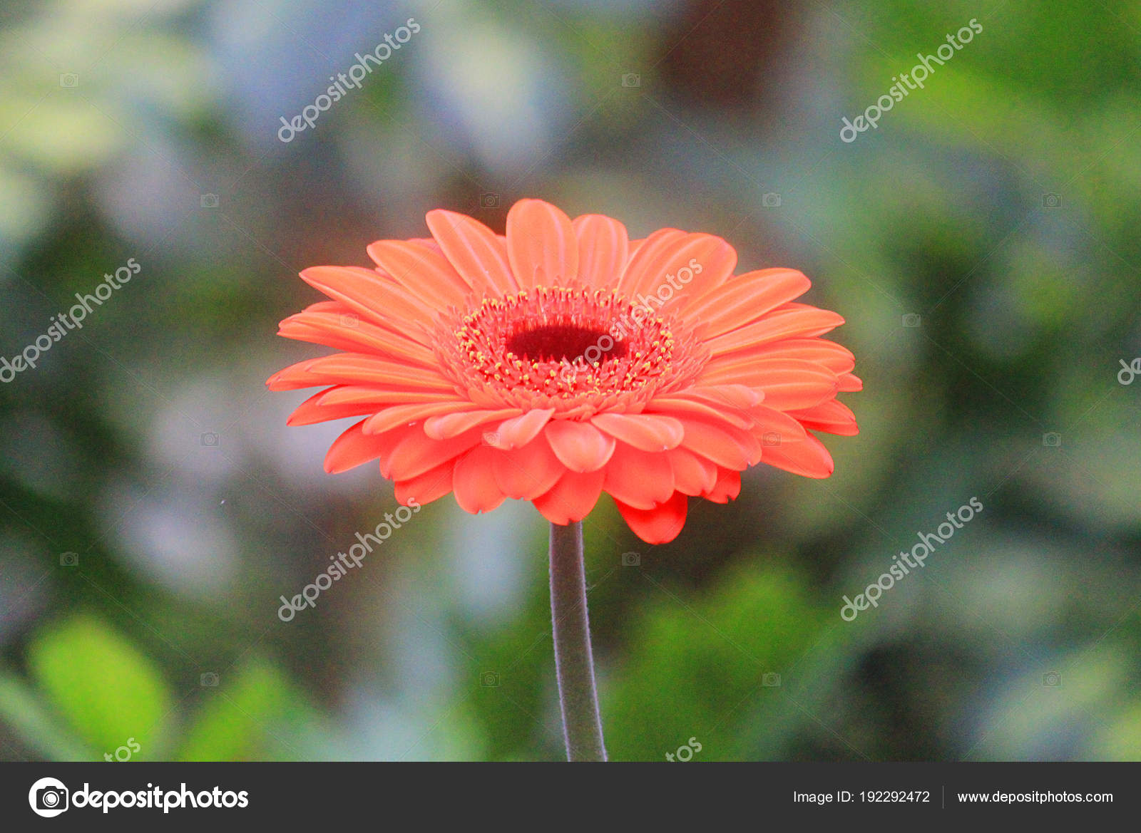 Gerbera Flower In Spring Season Stock Photo Piknik67 192292472
