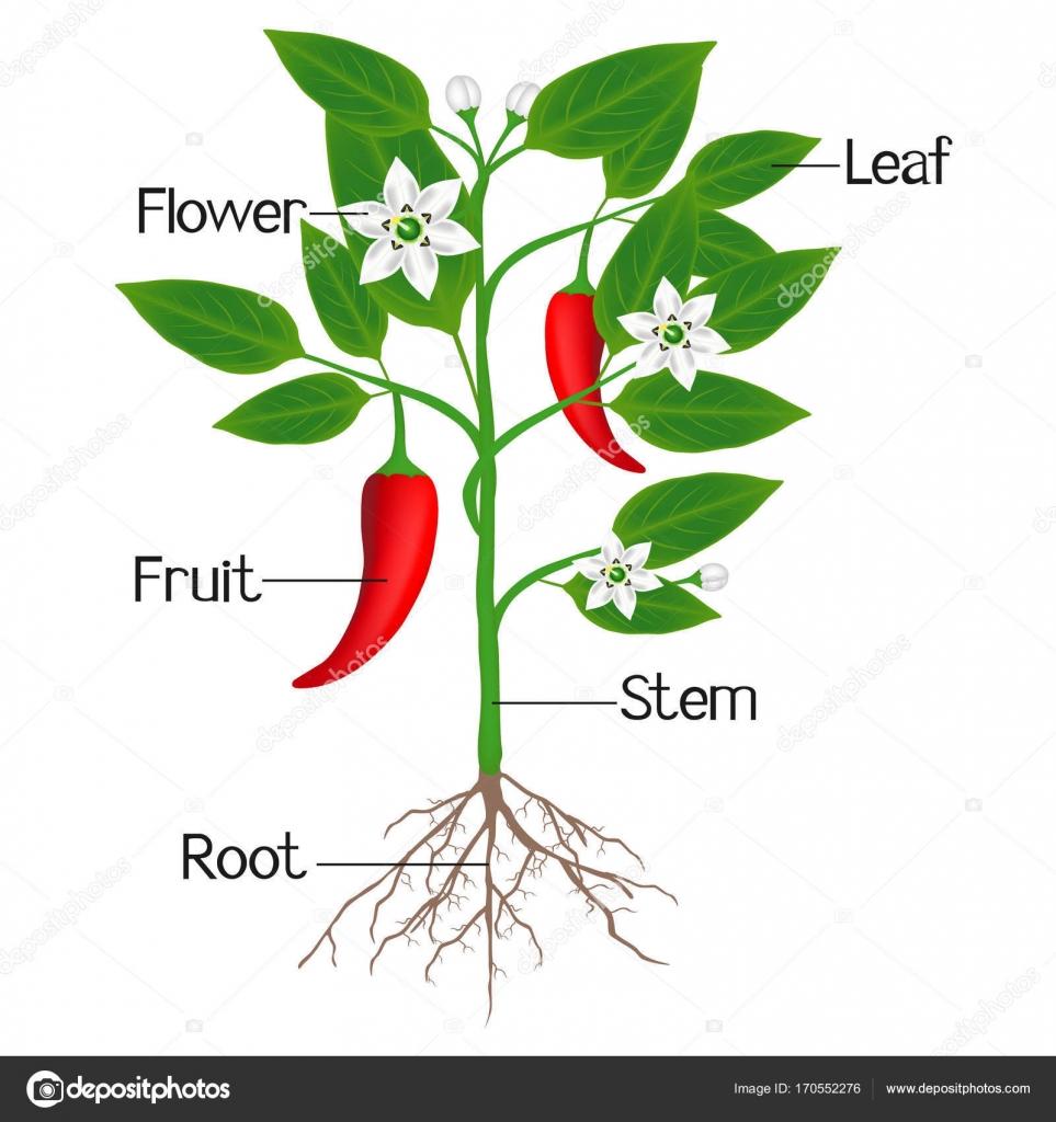 Ilustracion las partes de las plantas una ilustraci n for Imagenes de las partes del arbol
