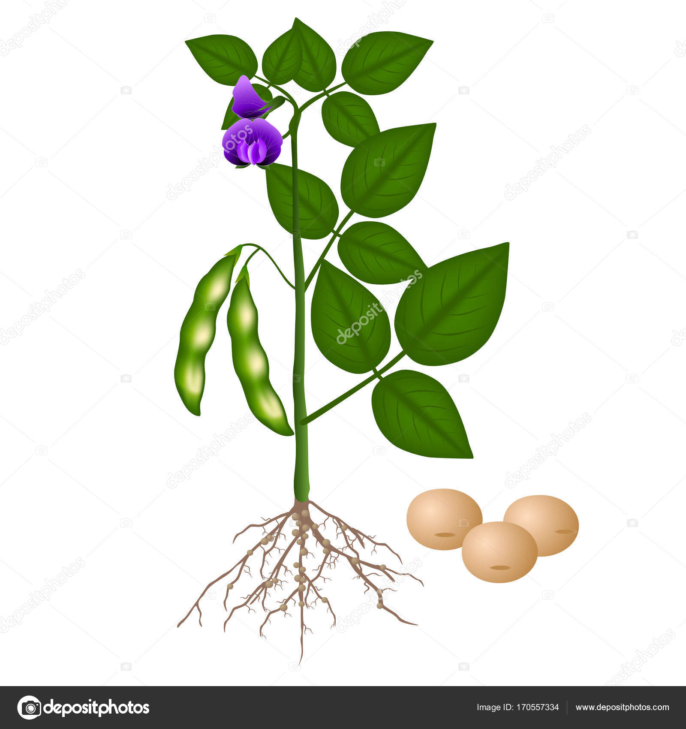 soybean plant on a white background stock vector zaqzaq81