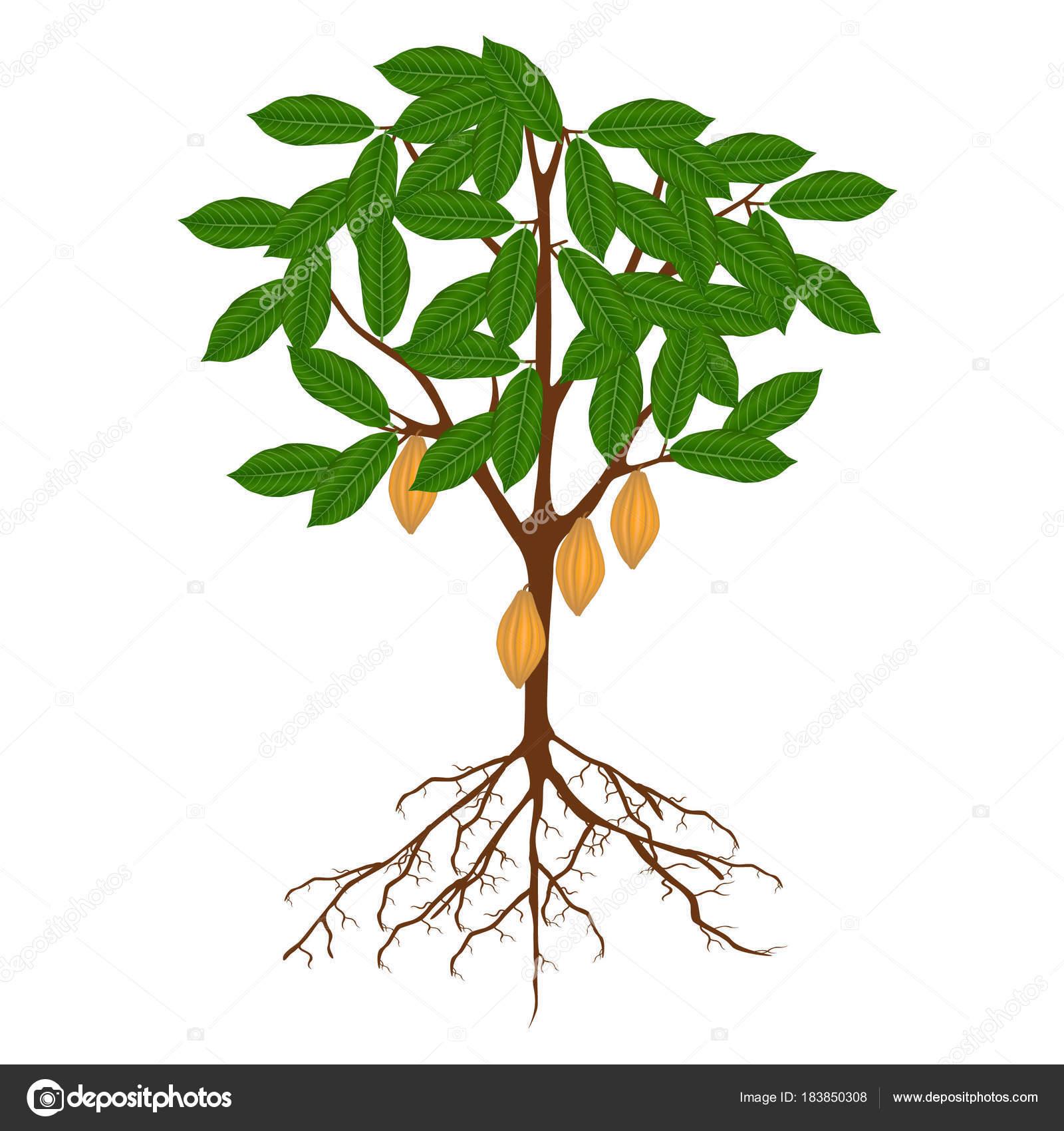 Pianta Cacao Con Radici Foglie Frutti Fondo Bianco Vettoriali