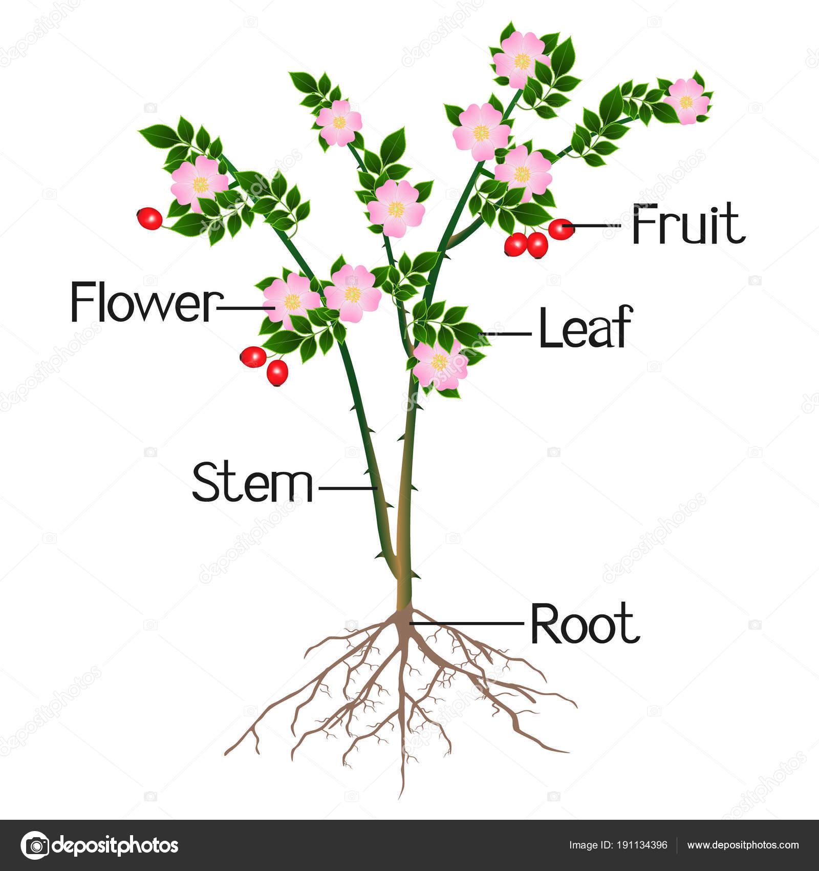 Illustration Montre Une Partie Rose Musquee Plante Image