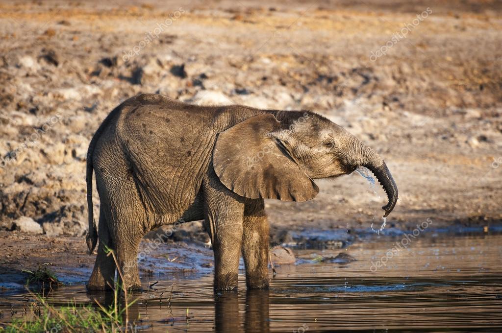 Elephant cub drinking water in the Chobe River, Chobe National Park, in Botswana