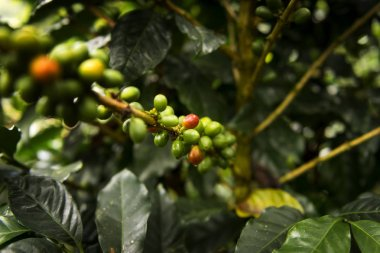 Detail of a coffee plant in an organic coffee farm in Salento, Colombia