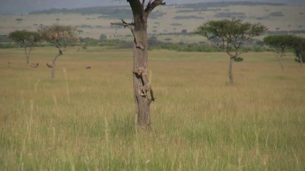 baby gepard se snaží vylézt na strom, ale vzdává se
