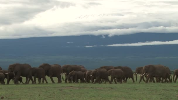 elephants family passing across the camera with snow on mount Kilimanjaro