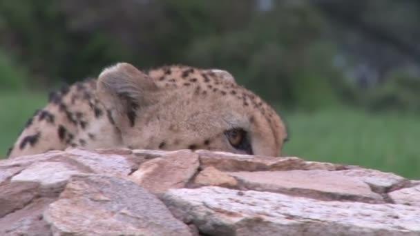 gepard vykoukne na vrchol skály