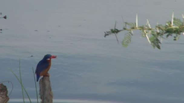 Malachitský ledňáček hladí rybu a pak ji s odporem zahodí.