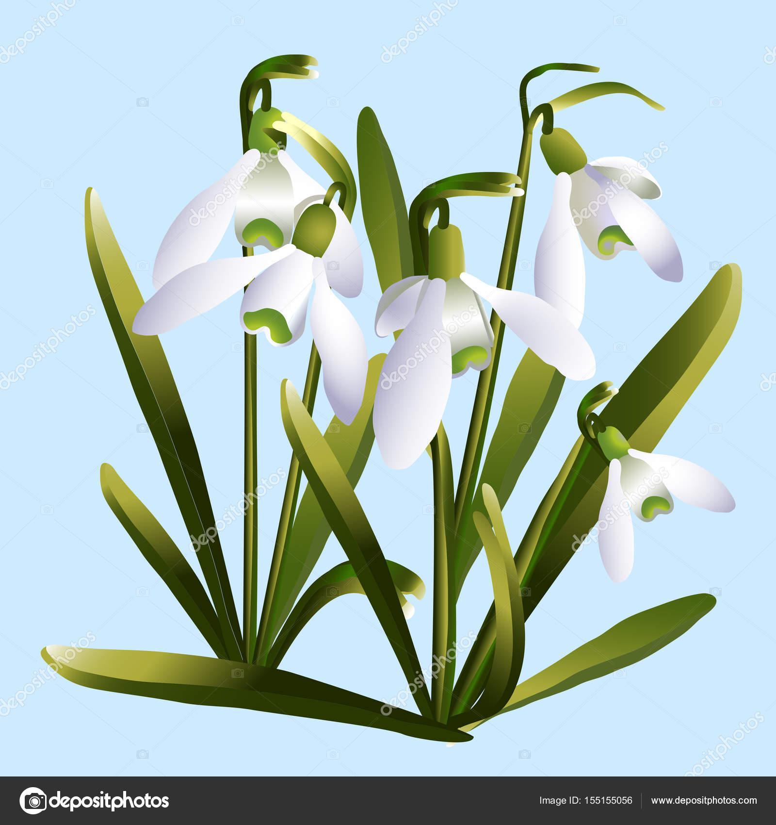 Fleurs Perce Neige Galantus Image Vectorielle Juliastud C 155155056