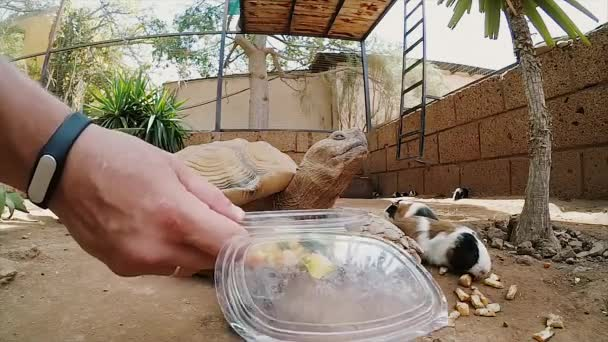 Man and woman try to feed a big turtle. Tortilla in a zoo, close-up view.