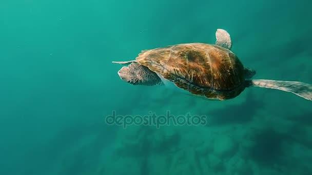 Big green turtle coming underwater. Sea animal swimming into water to bottom. Beautiful water nature.