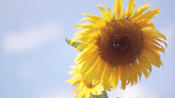 Pohled na detail slunečnice na pozadí modré oblohy. Bee sklizeň medu z květ.