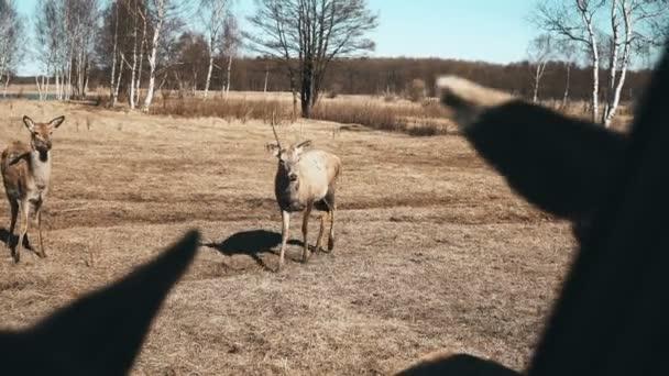 Podzimní pole. Stádo jelenů a malý šafáři, pasoucí se na louce. Krásné hnědé savců krmení tráva dohromady