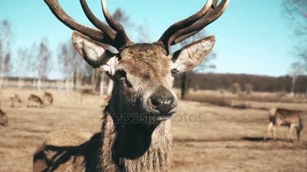Stádo jelenů, hnědé se pasou na podzimní louka. Krásné zvíře stojící před kamerou a žvýkání, jíst trávu.