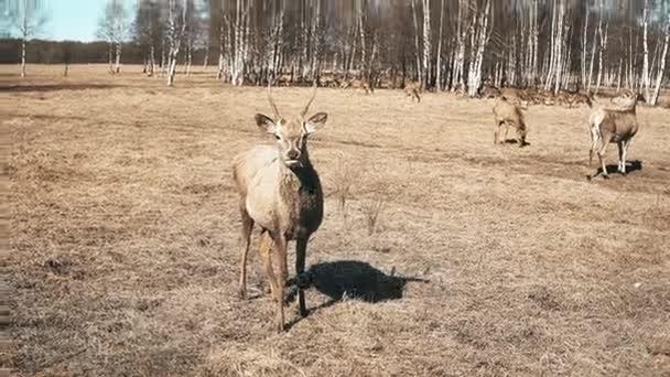 Roztomilý malý Kolouch stojící na pole a žvýkání. Stádo divokých jelenů, krmení na podzimní louka