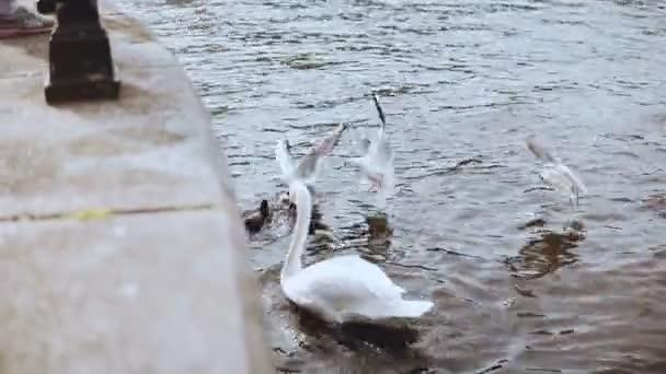 Krásné bílé labutě a racky poblíž nábřeží. 4 k. elegantní divoké krmení ptáků v okolí města. Posouvání shot