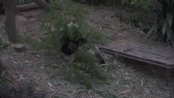 Panda in the woods eating