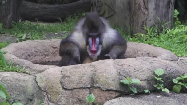 a majom egy pávián, a dzsungelben