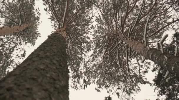 borový les a padající sníh