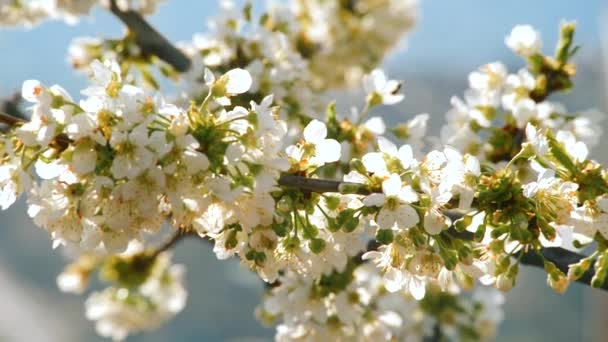 beautiful flowers of cherry during spring time on sunny day
