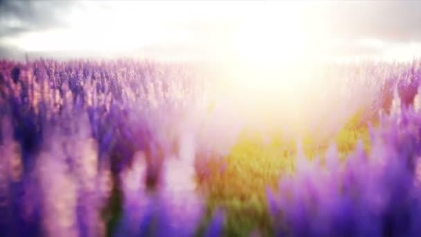 levandulová pole. Překrásný východ slunce. Realistické animace 4 k