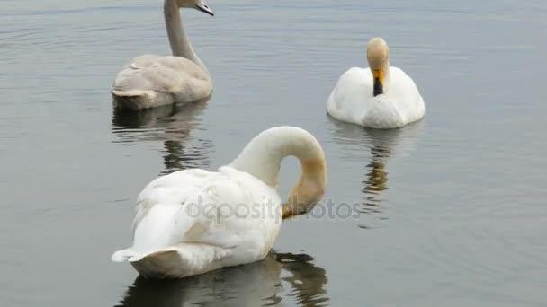labutě rodinné plovoucí na rybníku a čištění peří, Délka dne, pozorování