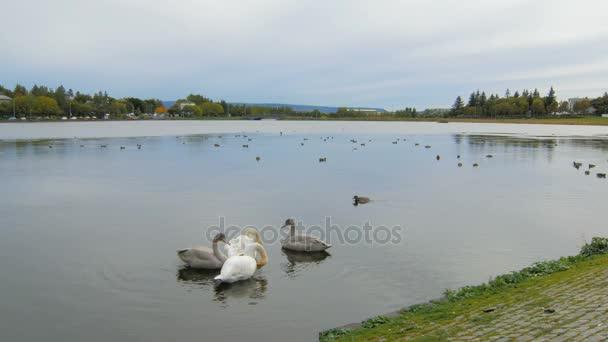 labutě, kachny a divoké husy odpočívá na rybníku v městě, klidná krajina na podzim čas, zamračená obloha
