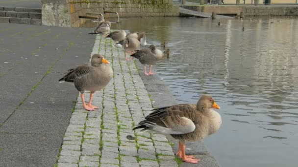 wild geese are standing of city embankment in scandinavian town, ducks are swimming on lake