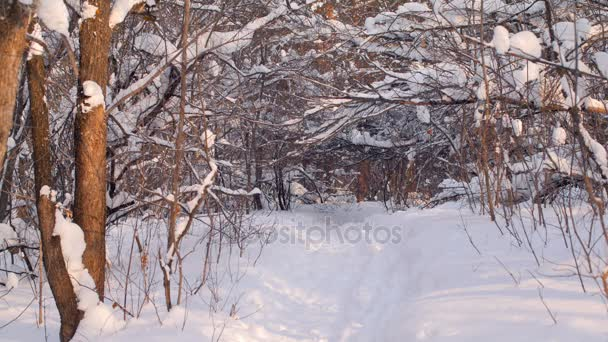 landscape of winter forest in sunset rays, much of snow, snowy trunks and branches of trees