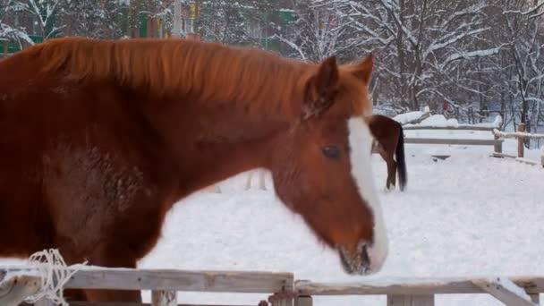ohradě pro koně v parku v zimním období, hrají dva koně, jeden kůň se dívá na kameru