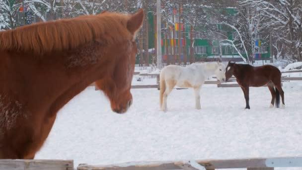 tři koně v ohradě v zimním období, jeden kůň stojí nedaleko od plotu