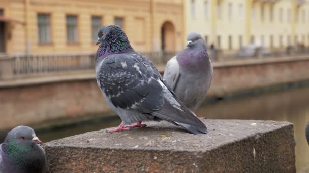 city pigeons are sitting on fence of embankment in town in daytime