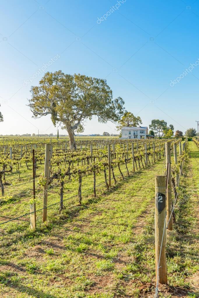 Vineyards at Coonawarra in South Australia
