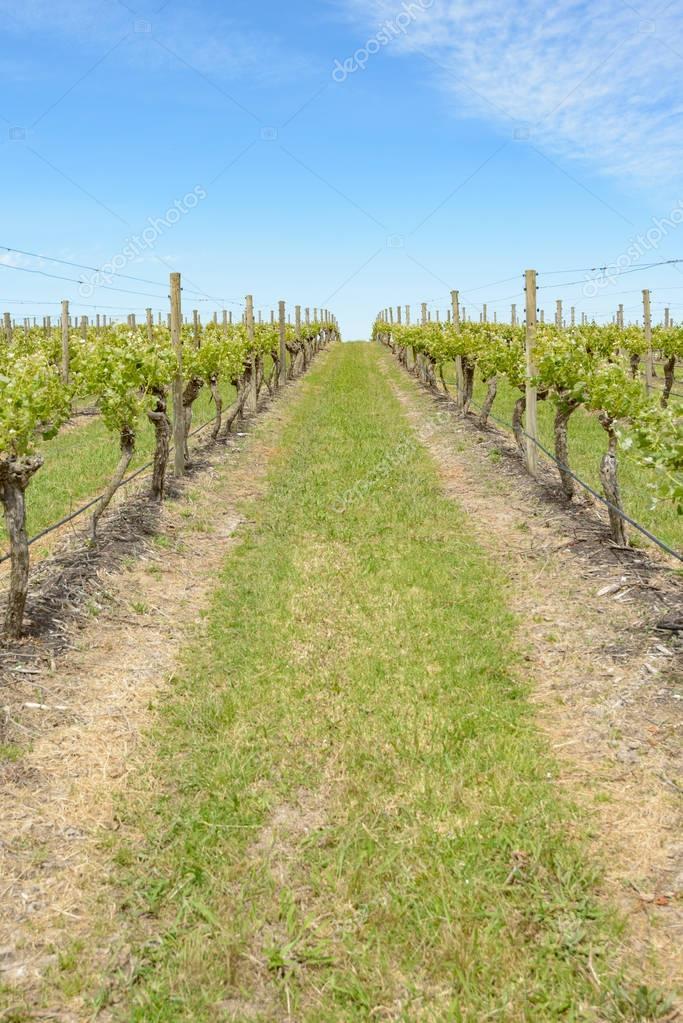 vineyard in north Yarra Valley