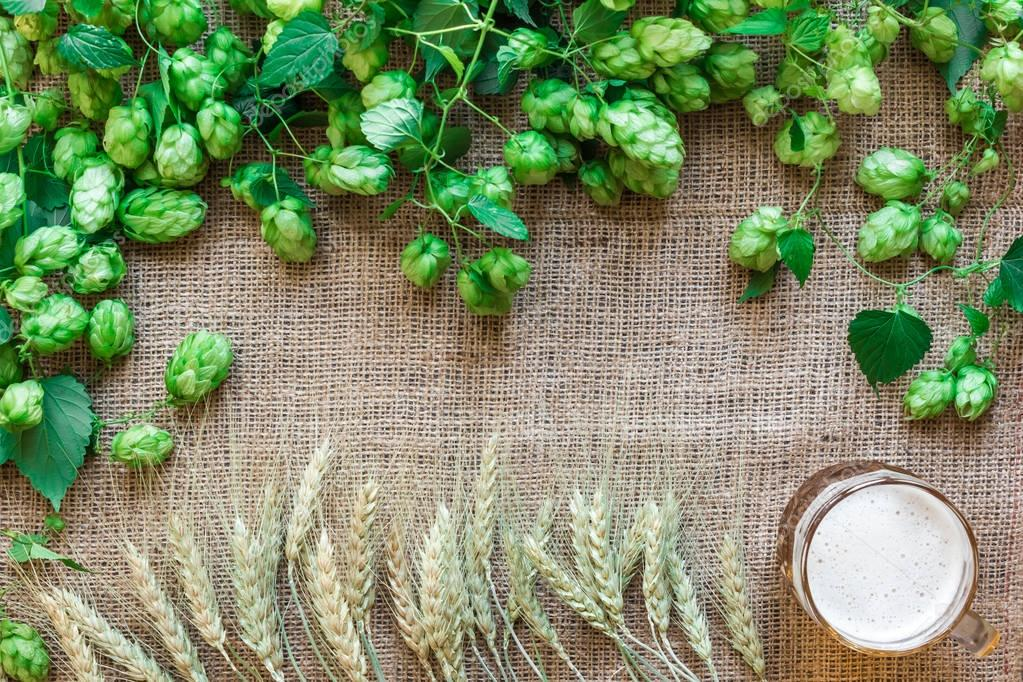 Green Fresh Hops with Wheat and Beer as copy space frame text area on sackcloth background