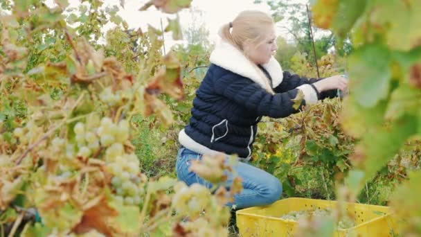 Young woman gathers the grape harvest. Vineyard white grapes